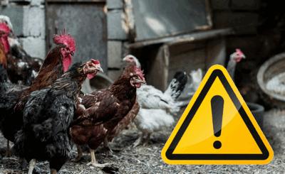 Ptasia grypa – informacja